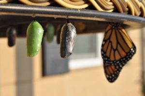 One green and one brown cocoon hanging next to a butterfly. Photo by Suzanne D. Williams on Unsplash